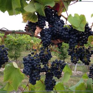 Besøg på vingård med vinsmagning for 2 personer - Karrebæksminde